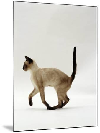 Domestic Cat, Seal Point Siamese Juvenile Running Profile-Jane Burton-Mounted Photographic Print