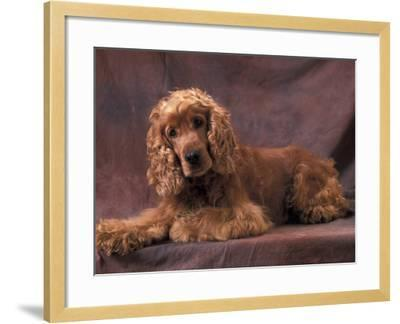 English Cocker Spaniel Lying Down with Head Tilted to One Side-Adriano Bacchella-Framed Photographic Print