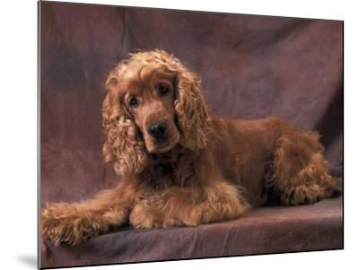 English Cocker Spaniel Lying Down with Head Tilted to One Side-Adriano Bacchella-Mounted Photographic Print