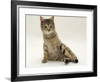 Domestic Cat, Oestrus Female Tabby Rolling, on Heat-Jane Burton-Framed Photographic Print