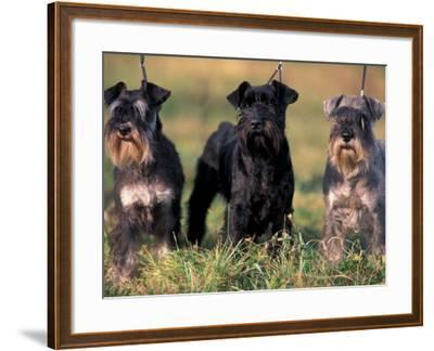 Domestic Dogs, Three Miniature Schnauzers on Leads-Adriano Bacchella-Framed Photographic Print