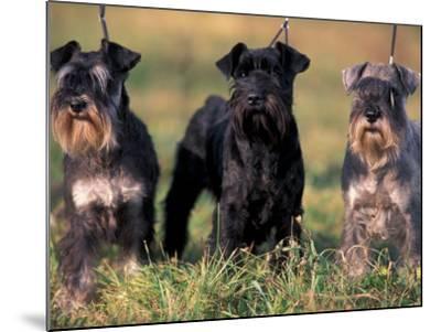 Domestic Dogs, Three Miniature Schnauzers on Leads-Adriano Bacchella-Mounted Photographic Print