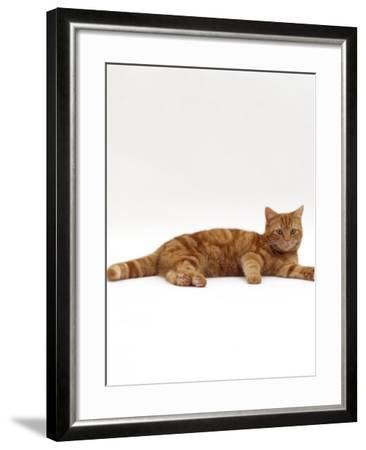 Domestic Cat, Red Tabby Male Lying Down-Jane Burton-Framed Photographic Print