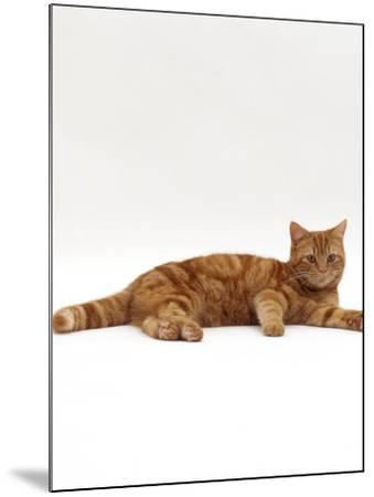 Domestic Cat, Red Tabby Male Lying Down-Jane Burton-Mounted Photographic Print
