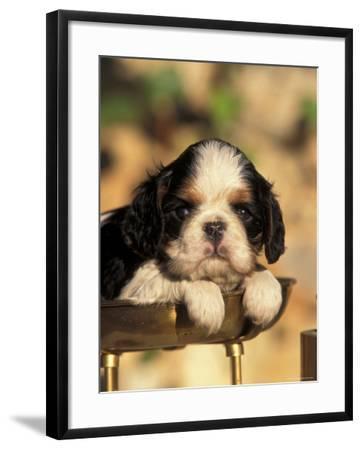 King Charles Cavalier Spaniel Puppy Portrait-Adriano Bacchella-Framed Photographic Print