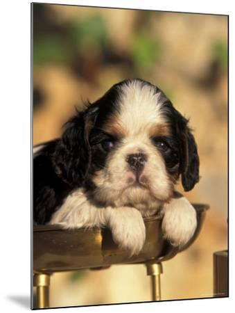 King Charles Cavalier Spaniel Puppy Portrait-Adriano Bacchella-Mounted Photographic Print