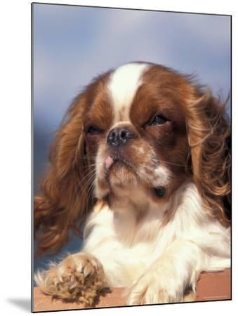 King Charles Cavalier Spaniel Adult Portrait-Adriano Bacchella-Mounted Photographic Print