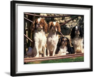 Four Young King Charles Cavalier Spaniels-Adriano Bacchella-Framed Photographic Print