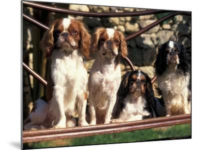 Four Young King Charles Cavalier Spaniels-Adriano Bacchella-Mounted Photographic Print