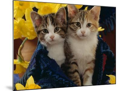 Domestic Cat, Two Tabby-Tortoiseshell-And-White Kittens in Blue Bag with Daffodils-Jane Burton-Mounted Photographic Print