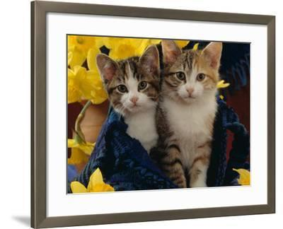 Domestic Cat, Two Tabby-Tortoiseshell-And-White Kittens in Blue Bag with Daffodils-Jane Burton-Framed Photographic Print