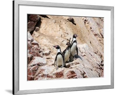 Humboldt Penguins on Isla Ballestas, Ballestas Islands, Peru-Eric Baccega-Framed Photographic Print
