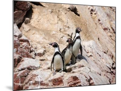 Humboldt Penguins on Isla Ballestas, Ballestas Islands, Peru-Eric Baccega-Mounted Photographic Print