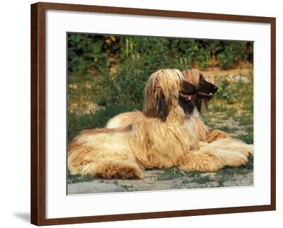 Domestic Dogs, Two Afghan Hounds Lying Side by Side-Adriano Bacchella-Framed Photographic Print