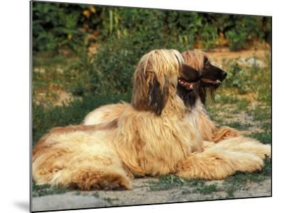 Domestic Dogs, Two Afghan Hounds Lying Side by Side-Adriano Bacchella-Mounted Photographic Print