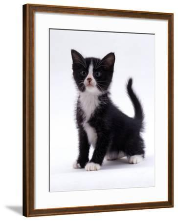 Domestic Cat, 6-Week, Black-And-White Kitten-Jane Burton-Framed Photographic Print