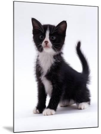Domestic Cat, 6-Week, Black-And-White Kitten-Jane Burton-Mounted Photographic Print