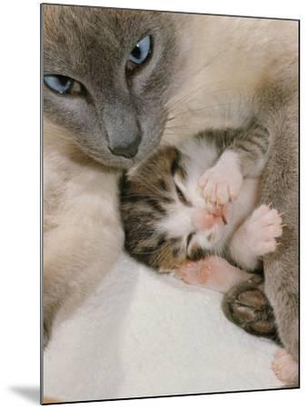 Domestic Cat, Stray Siamese Female with Single Kitten-Jane Burton-Mounted Photographic Print