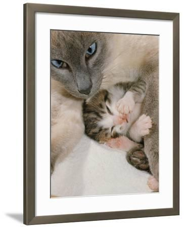 Domestic Cat, Stray Siamese Female with Single Kitten-Jane Burton-Framed Photographic Print