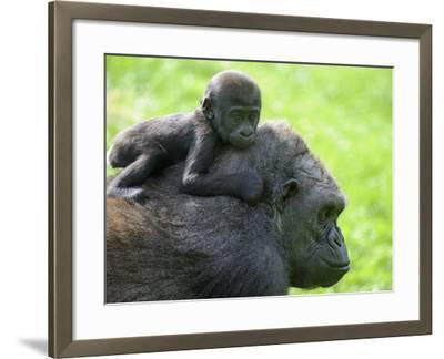 Western Lowland Gorilla Mother Carrying Baby on Her Back. Captive, France-Eric Baccega-Framed Photographic Print