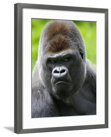 Head Portrait of Male Silverback Western Lowland Gorilla Captive, France-Eric Baccega-Framed Photographic Print