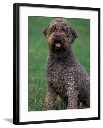 Domestic Dog -Lagotta Romagnolo Sitting Portrait-Adriano Bacchella-Framed Photographic Print