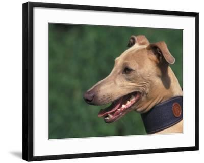 Fawn Whippet Wearing a Collar-Adriano Bacchella-Framed Photographic Print