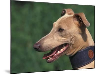 Fawn Whippet Wearing a Collar-Adriano Bacchella-Mounted Photographic Print