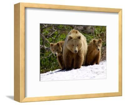 Brown Bear Mother with Cubs, Valley of the Geysers, Kronotsky Zapovednik, Russia-Igor Shpilenok-Framed Photographic Print