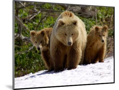 Brown Bear Mother with Cubs, Valley of the Geysers, Kronotsky Zapovednik, Russia-Igor Shpilenok-Mounted Photographic Print