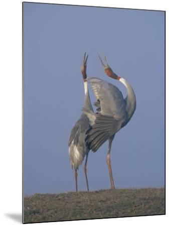Sarus Cranes Pair Displaying, Unison Call, Keoladeo Ghana Np, Bharatpur, Rajasthan, India-Jean-pierre Zwaenepoel-Mounted Photographic Print