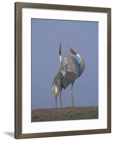 Sarus Cranes Pair Displaying, Unison Call, Keoladeo Ghana Np, Bharatpur, Rajasthan, India-Jean-pierre Zwaenepoel-Framed Photographic Print