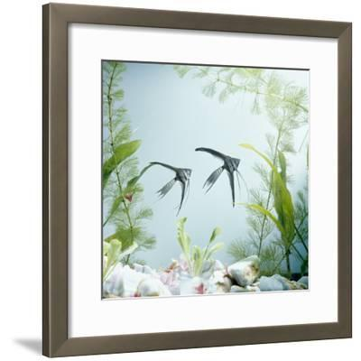 Angelfish Melanic Veiltail 'Black Lace' Variety, from Rivers of Amazon Basin, South America-Jane Burton-Framed Photographic Print
