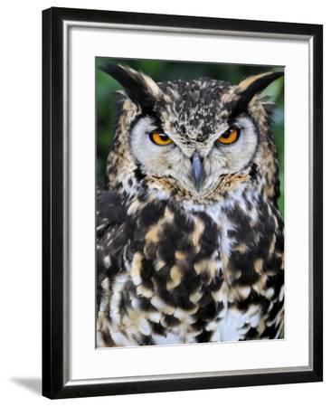 Head Portrait of Spotted Eagle-Owl Captive, France-Eric Baccega-Framed Photographic Print