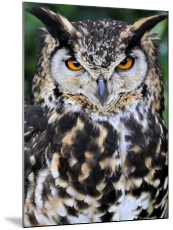 Head Portrait of Spotted Eagle-Owl Captive, France-Eric Baccega-Mounted Photographic Print