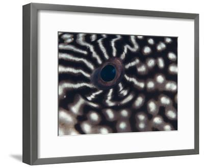 Close up of Eye of Pufferfish, Indo Pacific-Jurgen Freund-Framed Photographic Print