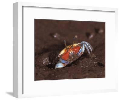 Fiddler Crab, Busuanga Island, Philippines-Jurgen Freund-Framed Photographic Print