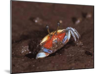 Fiddler Crab, Busuanga Island, Philippines-Jurgen Freund-Mounted Photographic Print