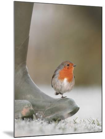 Robin Perched on Boot, UK-T^j^ Rich-Mounted Photographic Print