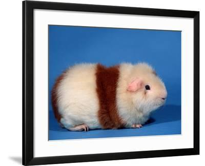Red and White Rex Guinea Pig-Petra Wegner-Framed Photographic Print