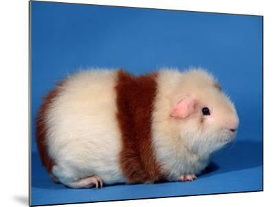 Red and White Rex Guinea Pig-Petra Wegner-Mounted Photographic Print