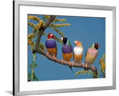 Four Gouldian Finches-Petra Wegner-Framed Photographic Print