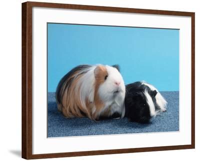 Sheltie Guinea Pig with Young-Petra Wegner-Framed Photographic Print