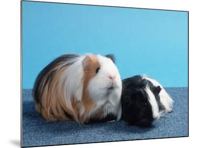 Sheltie Guinea Pig with Young-Petra Wegner-Mounted Photographic Print