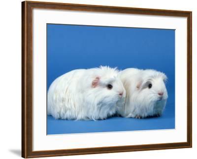 Two White Coronet Guinea Pigs-Petra Wegner-Framed Photographic Print