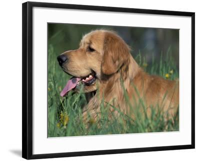 Golden Retriever Lieing in Grass, Us-Lynn M^ Stone-Framed Photographic Print