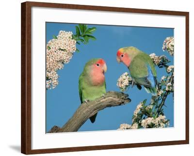 Pair of Peach-Faced Lovebirds-Petra Wegner-Framed Photographic Print