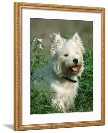 Head Portrait of West Highland White Terrier Dog-Petra Wegner-Framed Photographic Print