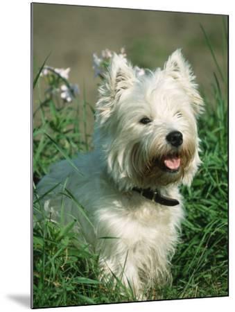 Head Portrait of West Highland White Terrier Dog-Petra Wegner-Mounted Photographic Print