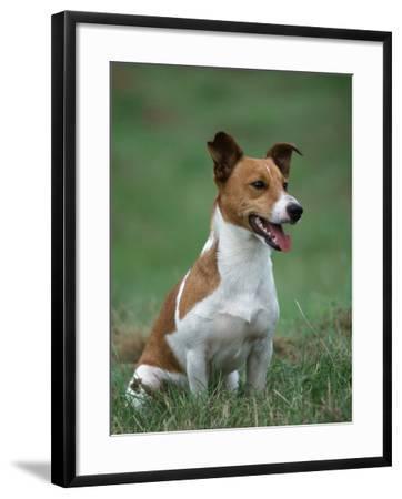Jack Russell Terrier-Petra Wegner-Framed Photographic Print